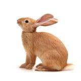 Coniglio arancio Fotografia Stock