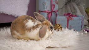 Coniglio beige lanuginoso che riposa nello studio archivi video