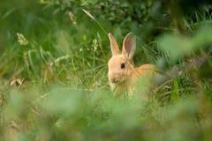 Coniglio beige sveglio nell'erba immagine stock