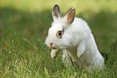 Coniglio bianco Immagini Stock Libere da Diritti
