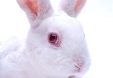 Coniglio bianco fotografie stock libere da diritti