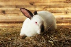 Coniglio bianco Fotografia Stock Libera da Diritti