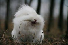 Coniglio bianco Immagine Stock