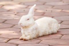 Coniglio bianco bello Fotografia Stock