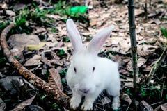Coniglio bianco che esamina macchina fotografica Fotografia Stock