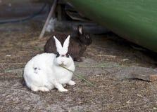 Coniglio bianco che mangia erba Fotografia Stock