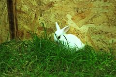 Coniglio bianco del bambino divertente in erba verde fotografia stock