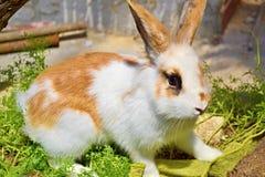 Coniglio bianco dell'animale domestico con i punti rossi e le orecchie divertenti per una passeggiata Coniglio pigmeo, il favorit fotografie stock