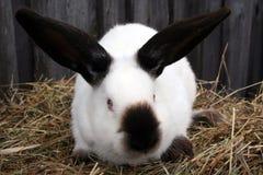 Coniglio bianco di California fotografie stock libere da diritti