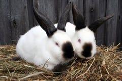 Coniglio bianco di California immagine stock