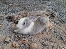 Coniglio bianco e grigio Fotografia Stock