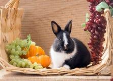 Coniglio in bianco e nero divertente dell'olandese del nano del bambino Un mese Immagini Stock