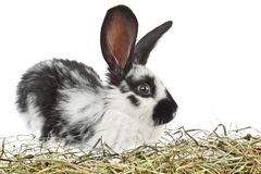 Coniglio in bianco e nero giovane piccolo fotografia stock libera da diritti