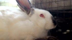 Coniglio bianco, grande coniglio bianco, coniglio archivi video