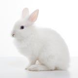 Coniglio bianco isolato su bianco Fotografie Stock