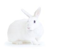 Coniglio bianco isolato su bianco esaminando la macchina fotografica Fotografie Stock Libere da Diritti