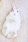 Coniglio bianco isolato sulla menzogne bianca sul suo indietro Immagini Stock