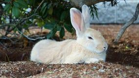 Coniglio bianco sonnolento sveglio Fotografia Stock