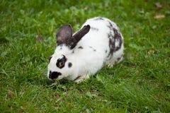 Coniglio bianco su un'erba Fotografia Stock