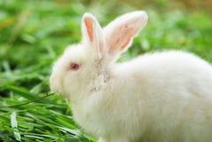 Coniglio bianco sull'erba fotografia stock