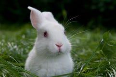 Coniglio bianco sull'erba Immagini Stock Libere da Diritti