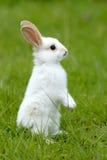 Coniglio bianco sull'erba Fotografie Stock