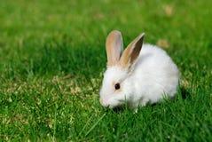 Coniglio bianco sull'erba immagine stock