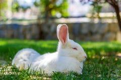 Coniglio bianco sull'erba verde Fotografia Stock