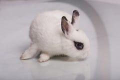 Coniglio bianco sveglio con ombretto Fotografia Stock