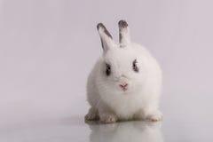 Coniglio bianco sveglio con ombretto Fotografie Stock