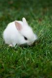 Coniglio bianco sveglio sull'erba verde Immagine Stock Libera da Diritti