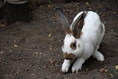 Coniglio bianco un animale sveglio nell'azienda agricola Piccolo coniglio Immagini Stock