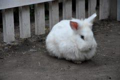 Coniglio bianco un animale sveglio nell'azienda agricola Piccolo coniglio Fotografia Stock Libera da Diritti