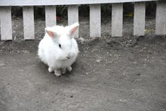 Coniglio bianco un animale sveglio nell'azienda agricola Piccolo coniglio Fotografie Stock Libere da Diritti
