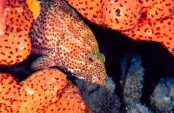 Coniglio, cephalopholis fulva Fotografia Stock Libera da Diritti