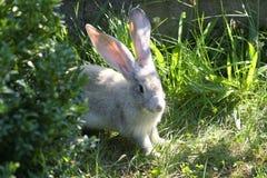 Coniglio che cerca alimento Fotografia Stock