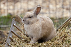 Coniglio che mangia fieno Immagine Stock