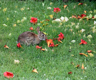 Coniglio che mangia il fiore di tromba Fotografia Stock