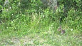 Coniglio che mangia nell'erba stock footage