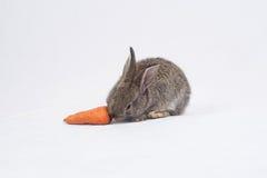 Coniglio che mangia una carota Fotografia Stock