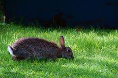 Coniglio che pasce con le orecchie punte su fotografia stock libera da diritti