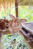 Coniglio come animale domestico nella gabbia Immagine Stock Libera da Diritti