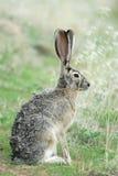 Coniglio con coda nera del Jack immagini stock libere da diritti