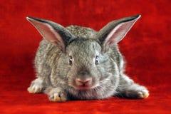 Coniglio con il fronte spaventato Fotografia Stock Libera da Diritti