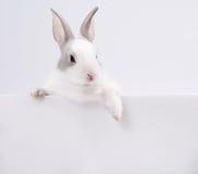Coniglio con la scheda bianca Fotografia Stock
