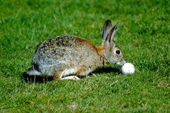 Coniglio con palla da golf immagine stock