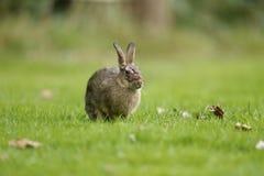 Coniglio, cuniculus di oryctolagus Fotografia Stock Libera da Diritti