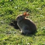 Coniglio dal burrow Fotografia Stock