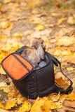 Coniglio dalle orecchie pendenti in una borsa per una macchina fotografica Fotografie Stock