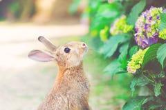 Coniglio davanti ad un cespuglio dell'ortensia Fotografie Stock Libere da Diritti